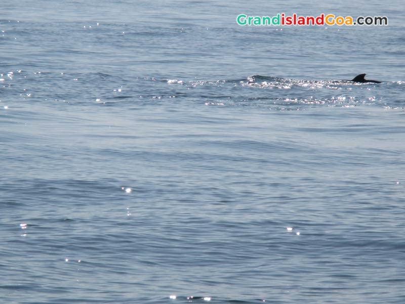 dolphin-spotting-goa