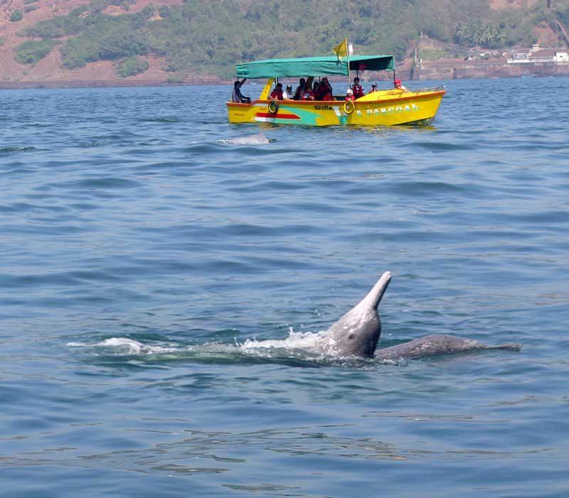 dolphin-cruise-safari-goa